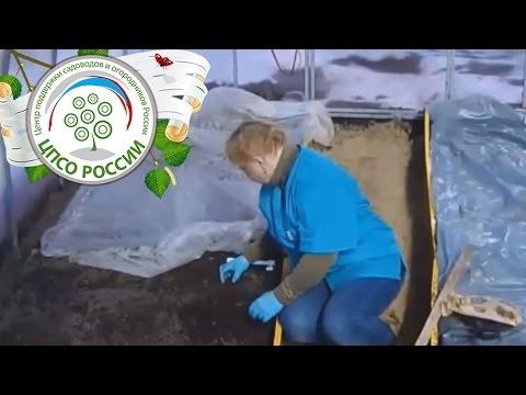видео: Как посадить редис