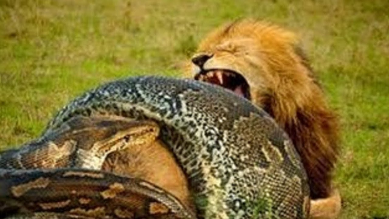 Anaconda vs Lion real Fight To Death - Wild Animals Attack