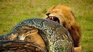 Anaconda vs Lion real Fight To Death - Wild Animals Attack