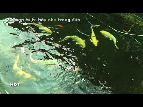 Hướng Dẫn Nuôi Cá Koi Mau Lớn Trong Hồ mini ! Kinh Nghiệm Sau 1 Năm 😍😍😍
