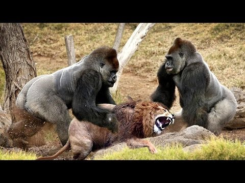 LIVE: Discovery Wild Animals - Two Gorillas Fighting With Lion - Animals Documentary 201̣9