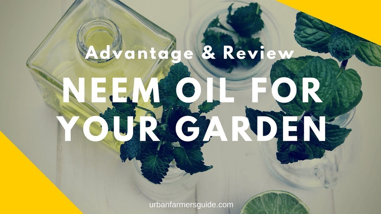Neem Oil : Uses, Advantages And The 5 Top Organic Neem Oil
