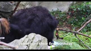 Sloth Bear Cubs Turn One!