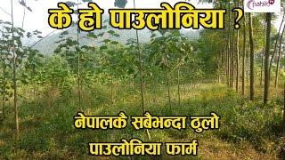 नेपालमा पाउलोनियाको व्यावसायिक खेती || Paulownia Cultivation in Nepal