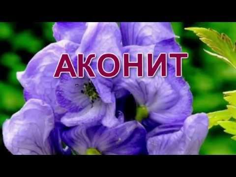 Аконит: посадка и уход в открытом грунте, размножение