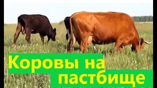На пастбище Коровы. Cows in the pasture. Life in Russia. Жизнь в деревне.