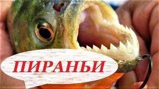 Пираньи в аквариуме, содержание, разведение, уход. Что едят? Виды