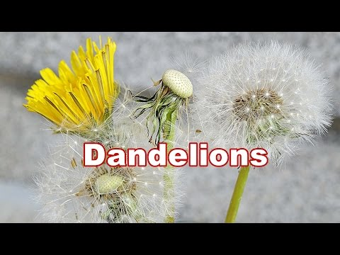 Dandelion Plant 🌿 Taraxacum Officinale 🌿 Fruit & Flower #8