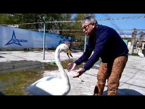 Как лебедь Жорка жалуется директору барнаульского зоопарка.