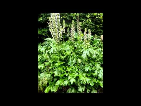 АКАНТ  /ACANTHUS( растения/plants)( HD slide show)!
