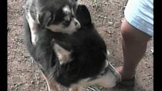 Siberian Husky Puppies - 3rd Litter