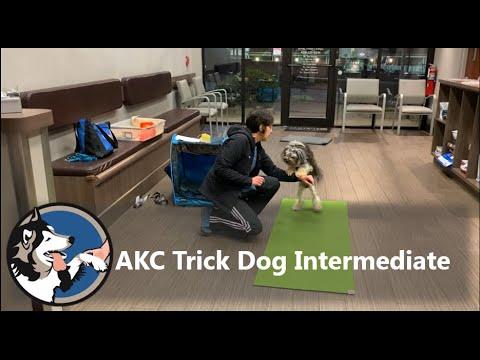 AKC Trick Dog Intermediate Test Bliss The Lowchen