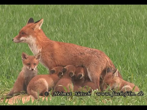 Fuchsjagd wegen fehlender natürlicher Feinde?
