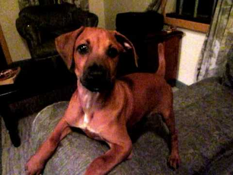 Trouble with Izzie the Rhodesian Ridgeback Boxer Mix - YouTube