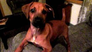 Trouble With Izzie The Rhodesian Ridgeback Boxer Mix