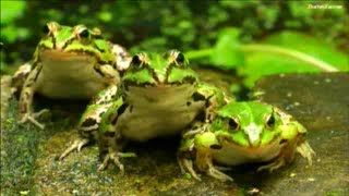 JUMPING FROGS ★ Funny Jumping Contest | Compilation