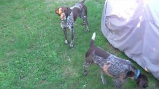 Cute German Shorthaired Pointers Playing Catch The Kibble!