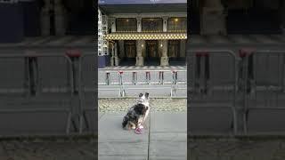 New York City dog Lulu #austra…