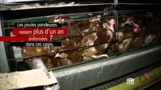 Elevage intensif en France - Les Poules