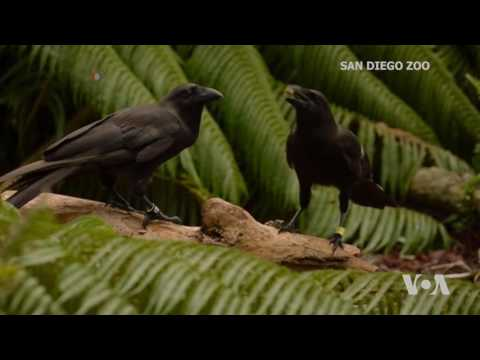 Scientists Find More Tool-using Crows