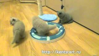 Британские голубые и лиловые котята из питомника