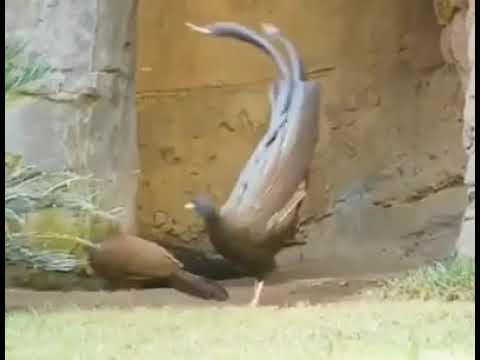 Surkhab Bird