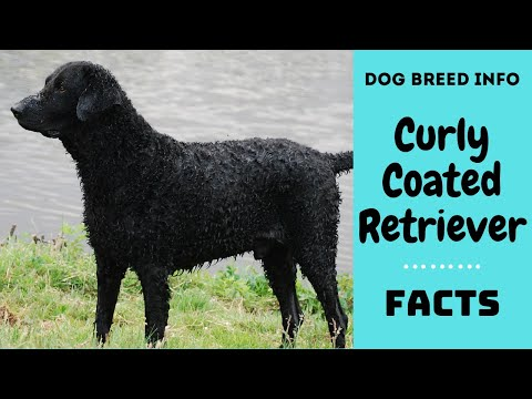 Curly Coated Retriever dog breed. All breed characteristics and facts about Curly Retriever dogs