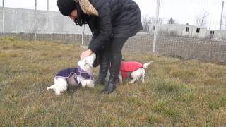 Danut, Danuta Westie Saved From A Breeder, Buftea - Romania Part Ii
