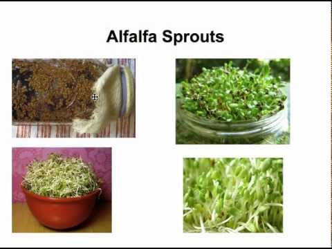 how to cook alfalfa sprouts