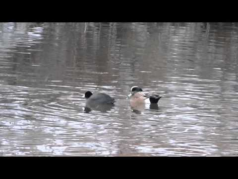 The Wigeon & the Coot
