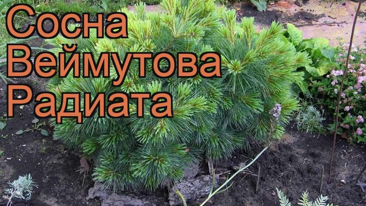 Сосна веймутова Радиата. Краткий обзор, описание характеристик .