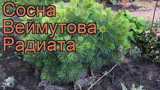 Сосна веймутова Радиата (pinus strobus radiata) ???? Радиата обзор: как сажать, саженцы сосны Радиата