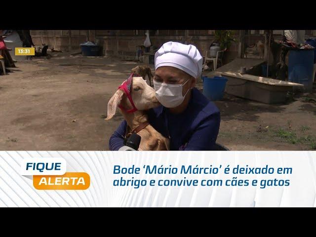 Bode 'Mário Márcio' é deixado em abrigo e convive com cães e gatos no Cidade Universitário