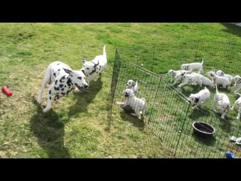 Funny Dalmatian parents play while their 12 kids watch and learn!