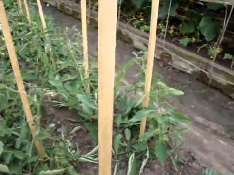 Видео Какие сорта помидор выращивают