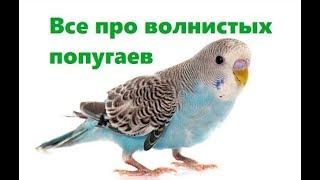 Все про волнистых попугаев в домашних условиях. Ветеринарная клиника Био-Вет.