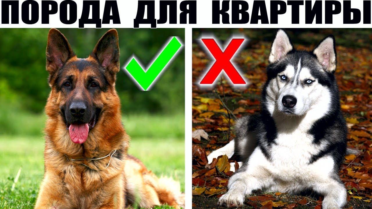 Большие породы собак которые подойдут для содержания в квартире