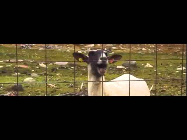 Taylor Swift - I knew you were a Sheep when you walked in (ORIGINAL)