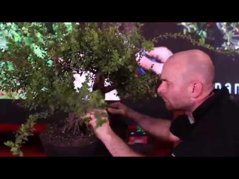 Bonsai demo by Peter Warren