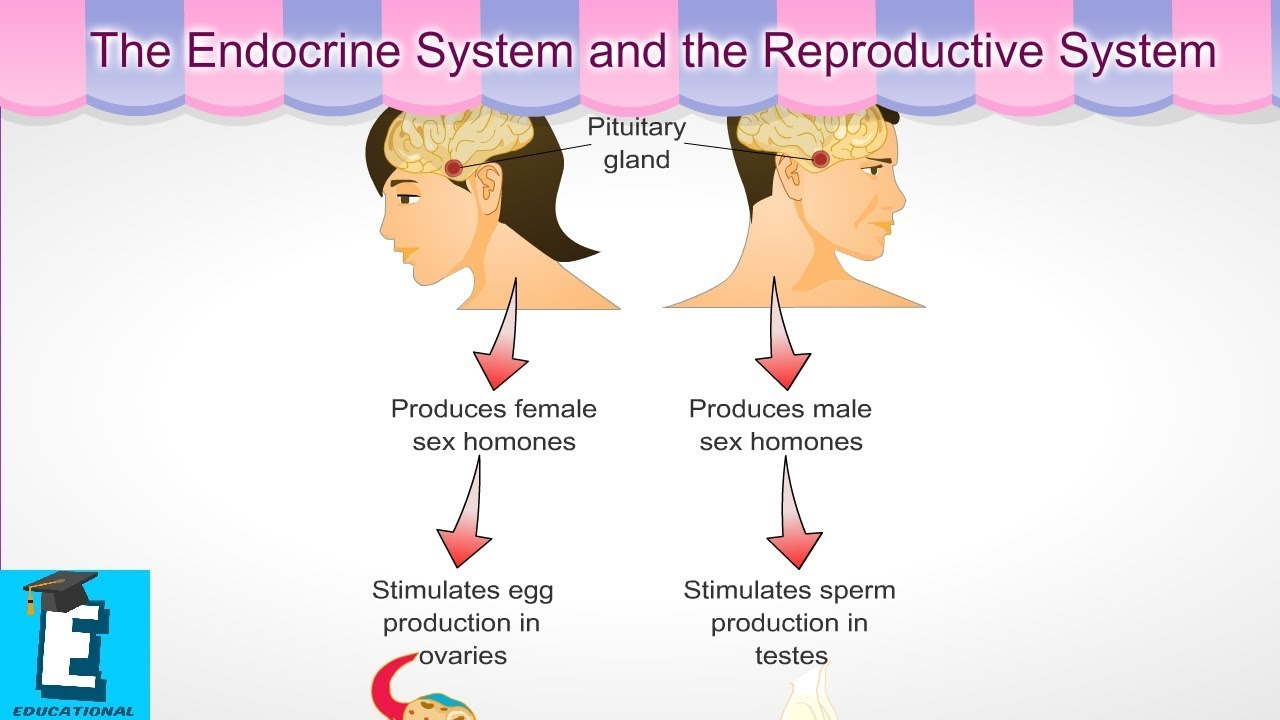 The Endocrine System And The Reproductive System Learn For Children