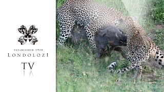 Two Male Leopards Fight and Struggle to Bring Down Large Warthog - Londolozi TV