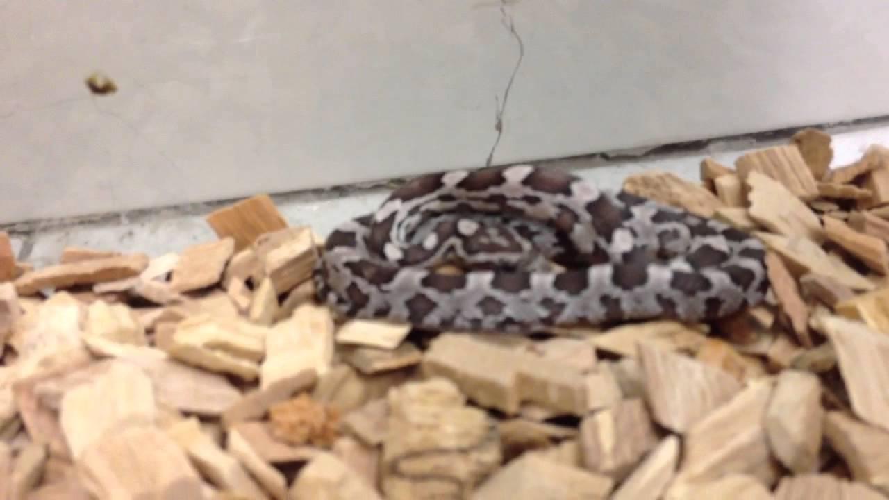 Présentation d'un élaphe Guttata / Recueillir des informations sur les  serpents
