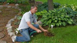 Dividing Hostas: Rose-Hill Gardens Video Series Episode Five