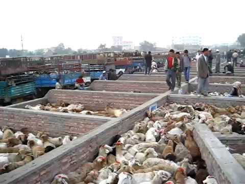 Livestock market in Urumqi, Xinjiang, China