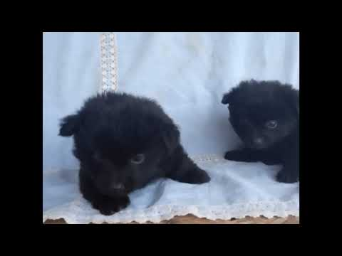 wonderful puppies of spitz breed