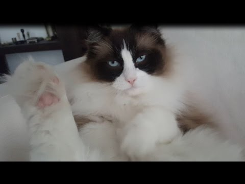 Grooming Instructions For Cats- by Timo the Ragdoll Cat