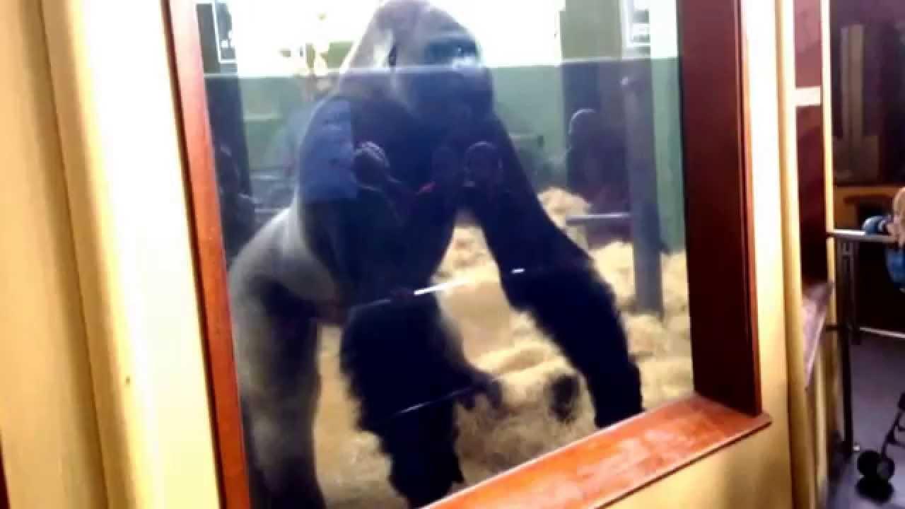 bokito the gorilla at rotterdam zoo