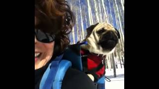 Frank The Pug Snow Shoeing