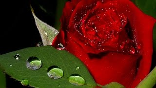 МУЗЫКА     ДОЖДЯ .(цветы под дождем ........шум дождя и музыка завораживает ........ muz .Chris Spheeris - 'Eros' ., 2012-01-06T19:03:51.000Z)