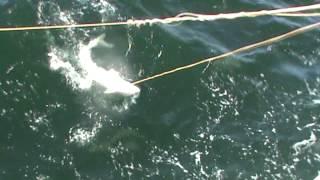 видео: Задержание 150 кг осетра